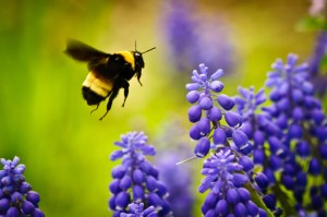 Bumble-bee-and-purple-flowers-July-4-2011